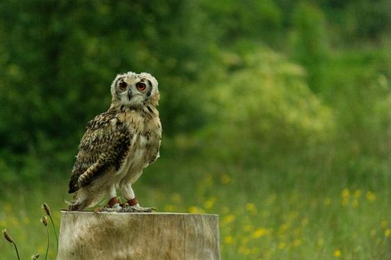 Owl - Muncaster Castle - Lake District